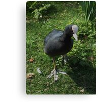 silly  coot! Canvas Print