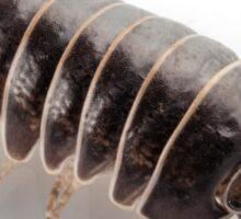 Pill-bug armadillidium vulgare species isolated on white background Sticker