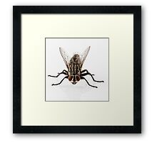 Flesh fly species sarcophaga carnaria isolated on white background  Framed Print