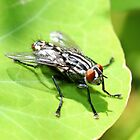 Flesh Fly by AnnDixon
