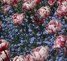 Pink striped tulips by rualexa
