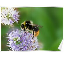Red shanked carder bee,Bombus ruderarius. Poster