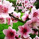 Blossom of the Nectarine Tree -  Spring 2009 by EdsMum