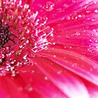 Arty Gerbera by Allison Peters