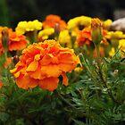 Beautiful Orange by Ryan Davison Crisp