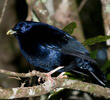 Satin Bowerbird by D Byrne