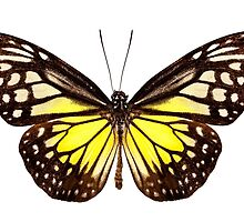 """Butterfly species Parantica aspasia common name """"Yellow Glassy Tiger"""" by paulrommer"""