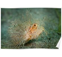 Ambon scorpion fish - Lembeh Strait Poster