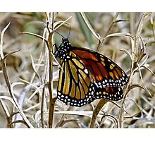 Wanderer Butterfly Photographic Print