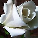 White Rose #2 by Trevor Kersley