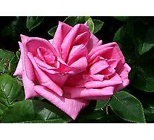 Pink Rose #1 Photographic Print