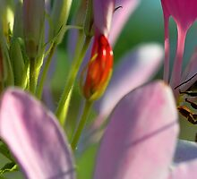 Cleome - Honeybee by T.J. Martin