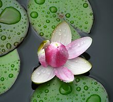 Water Lilly by Jacobcroland92