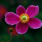 A Canadian Flower by John44