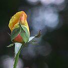 roses prayer... by aspectsoftmk