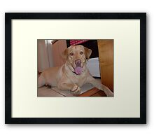 a lab and her ball Framed Print