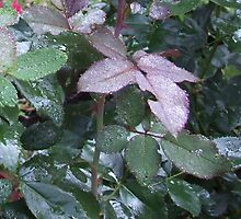 DEW ON ROSE LEAVES by WINTERROSE