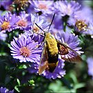 Hummingbird Moth on Aster by Gayle Dolinger