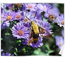 Hummingbird Moth on Aster Poster