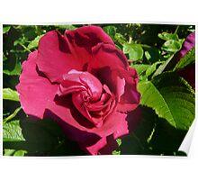 Blushing Red Rose Poster
