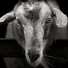 goat by Dave Milnes