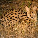 Serval (Leptailurus serval).  Kwando Concession, Botswana by Neville Jones