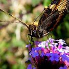 Feileacan.. (Irish for butterfly) by eithnemythen