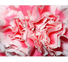 Pink & White Carnation Photographic Print