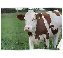 Single Cow Standing Proudly In Field Poster