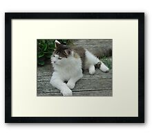 Maine Coon Cat 2 Framed Print