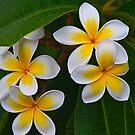 Frangipani blooms by Odille Esmonde-Morgan