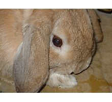 Dwarf Lop Eared Rabbit  Photographic Print