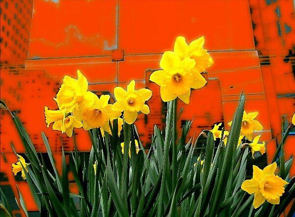 Urban Daffodils by jakking