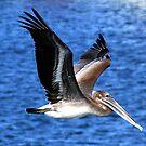 Pelican in flight by Earl McCall