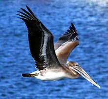 Pelican in flight by Earl McCall