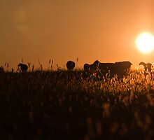 Sheep in a Field by Matthew Hutzell