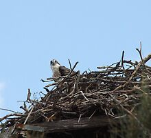 New Spring Osprey Chick by byronbackyard