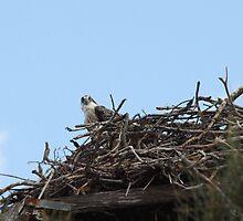 New Spring Osprey Chick by byronbackyard