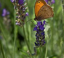 Lavender & Butterfly by Chris Lord