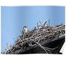 New Spring Osprey Chick 2 Poster