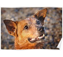 Eyes of a Cattledog Poster