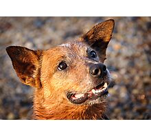 Eyes of a Cattledog Photographic Print