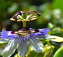 Passion Flower,  by lynn carter