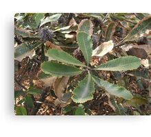bottle brush leaves Canvas Print