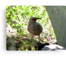 Curved-bill Thrasher Canvas Print