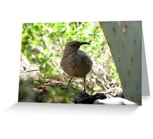 Curved-bill Thrasher Greeting Card