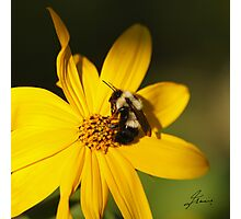 The Methotical Bumble Bee Photographic Print