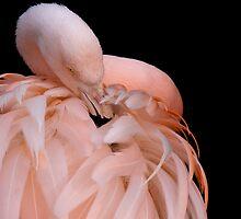 Flamingo by Lynne Morris