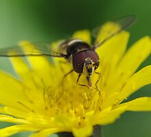 Hungry Hoverfly by pnjmcc