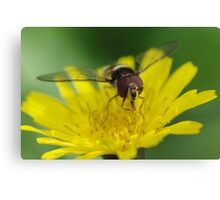 Hungry Hoverfly Canvas Print
